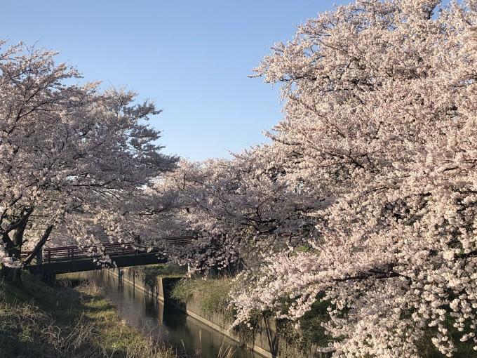 ブログ用 桜2