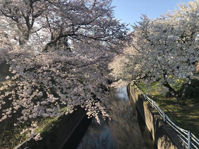 ブログ用 桜3